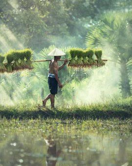 Photo d'un agriculteur dans une riziere au Vietnam