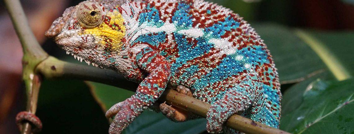 Reptile colorée sur arbre au Madagascar