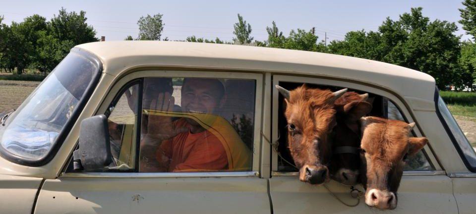 Voiture et vaches en Ouzbékistan