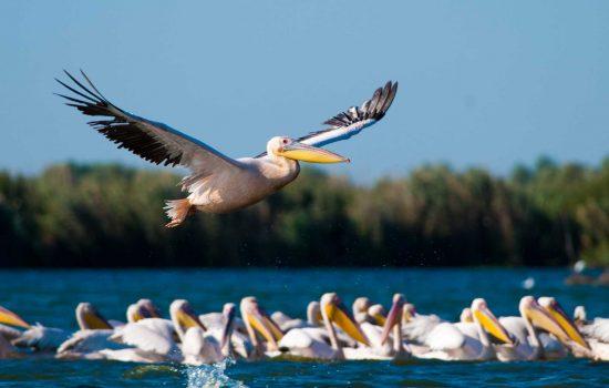 Oiseaux dans le Delta du Danube Roumanie