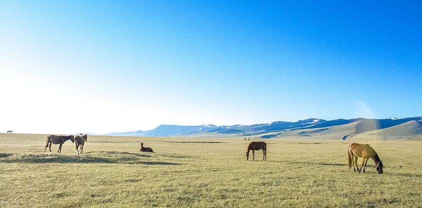 Des chevaux en Ouzbékistan