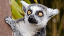 Lemur au Madagascar