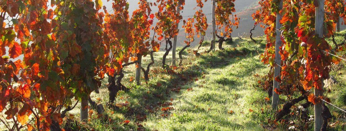 Oenologie, vignes à Port, Portugal, colline, feuilles de vigne