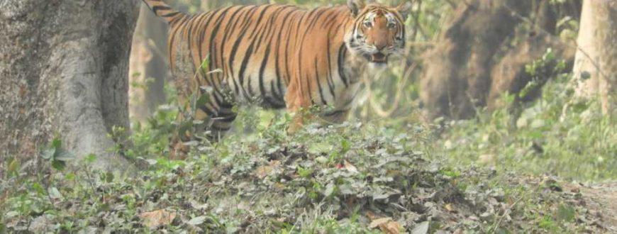 Tigre au Parc National de Kaziranga en Inde